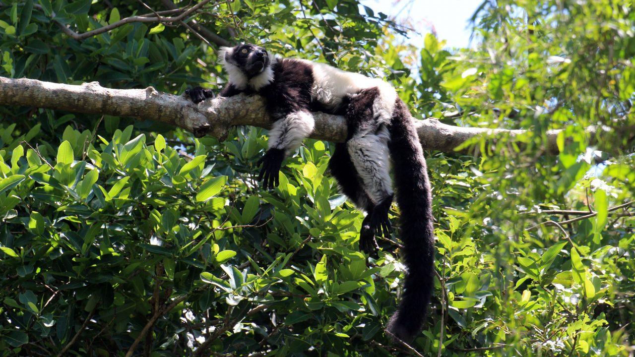 https://www.theballitomagazine.co.za/wp-content/uploads/Black-and-white-lemur-1280x720.jpg