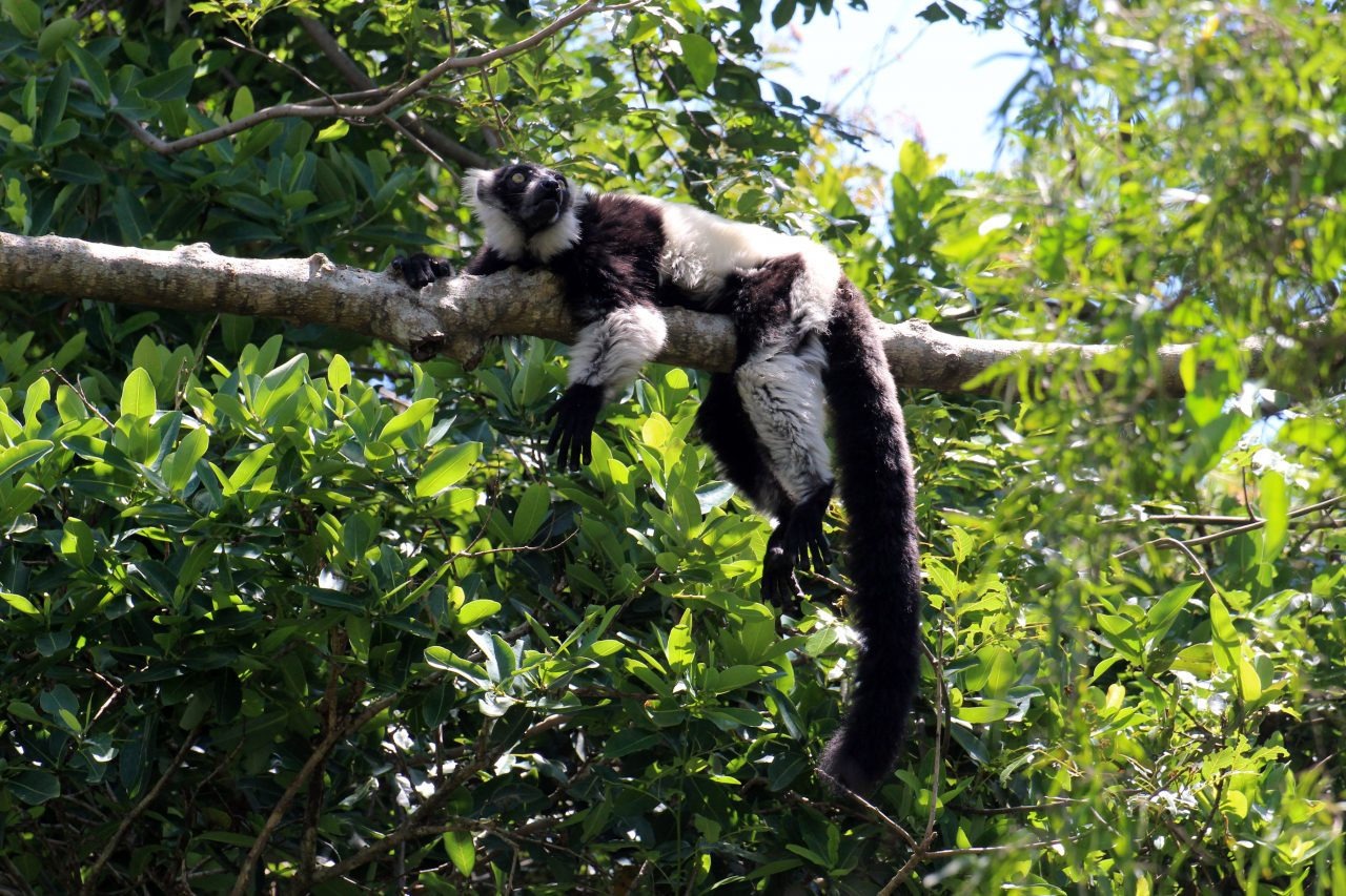 https://www.theballitomagazine.co.za/wp-content/uploads/Black-and-white-lemur-1280x853.jpg